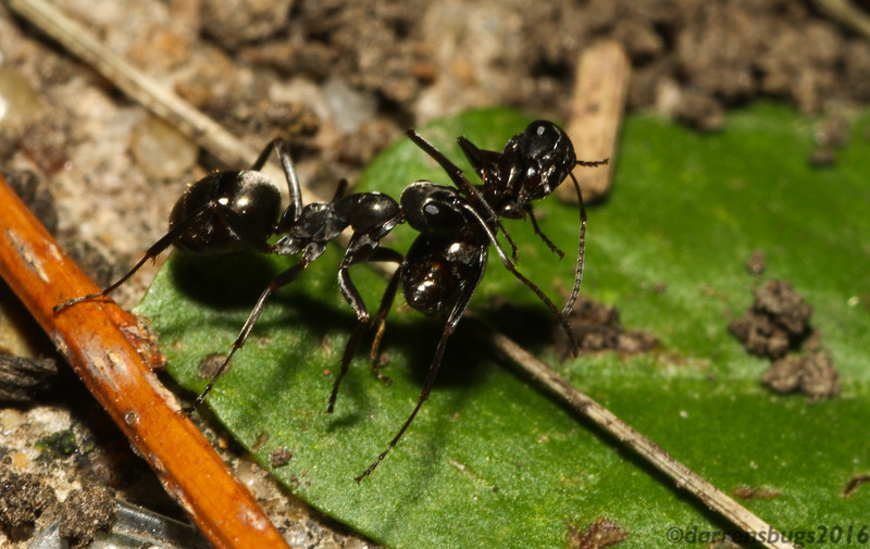 A Field Ant (Formicidae: Formica subsericea, from Iowa) carrying a deceased nest-mate. Ants will move their dead far away from the colony as a preventive 'public health' measure.