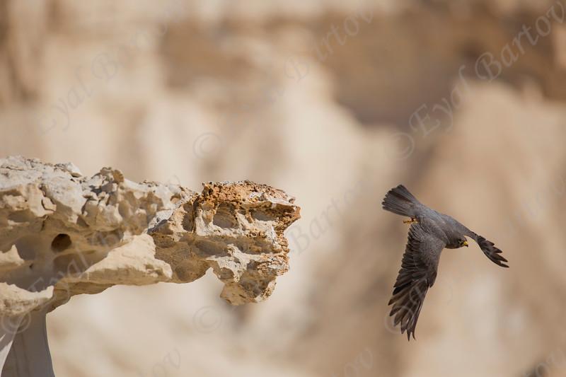 13. Sooty Falcon (Falco concolor) - בז שחור