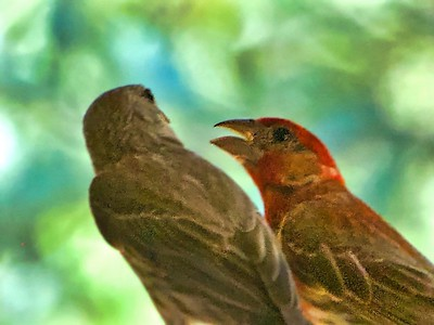 Pine Siskin and House Finch Argue