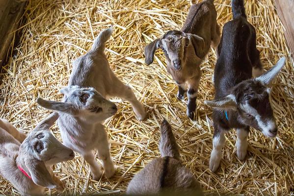 Hawaii - Hawaii Island Goat Dairy