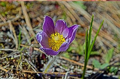 Pasqueflower  - Anemone patens 2
