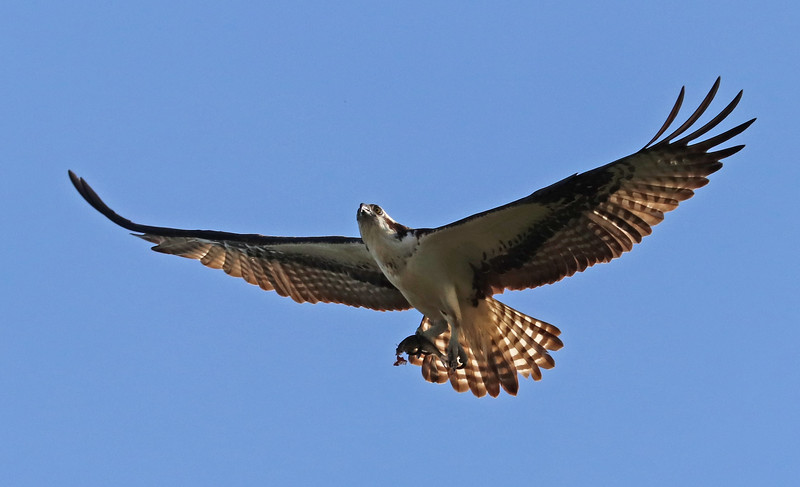 Osprey 186