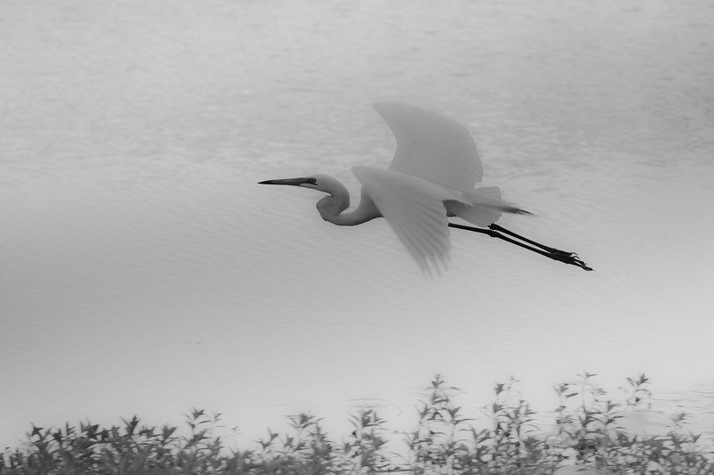 Eastern great egret in flight, Australia