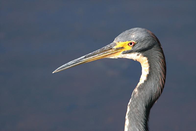 Tricolored Heron - Florida