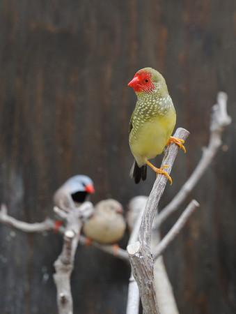 Voliere vogels