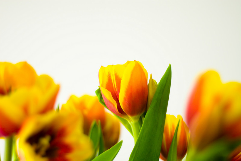 Tulip Light Box_08.jpg