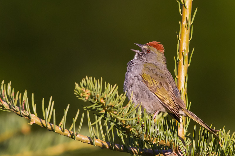 Green-tailed Towhee - Wuksachi Lodge, Sequoia National Park, CA, USA
