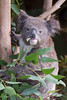 You gotta see a Koala while in Australia.