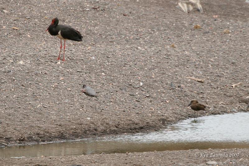 Hamerkop and a  Black Stork, Mashatu Game Reserve, Botswana