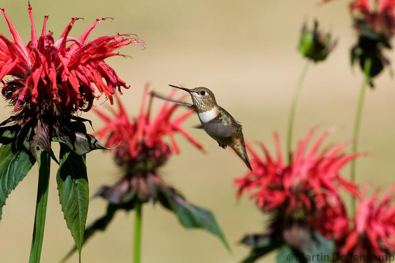 Rufous Hummingbird, juvenile male, at the Bee Balm Selasphorus rufus