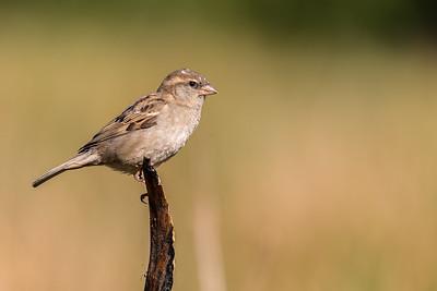 Gråspurv (House Sparrow)