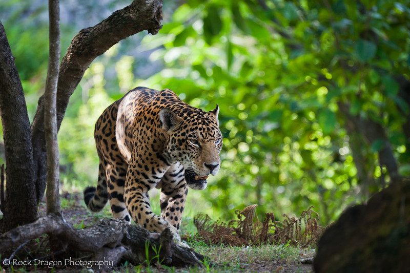 A Jaguar at Xcaret Eco-Park in Mexico.