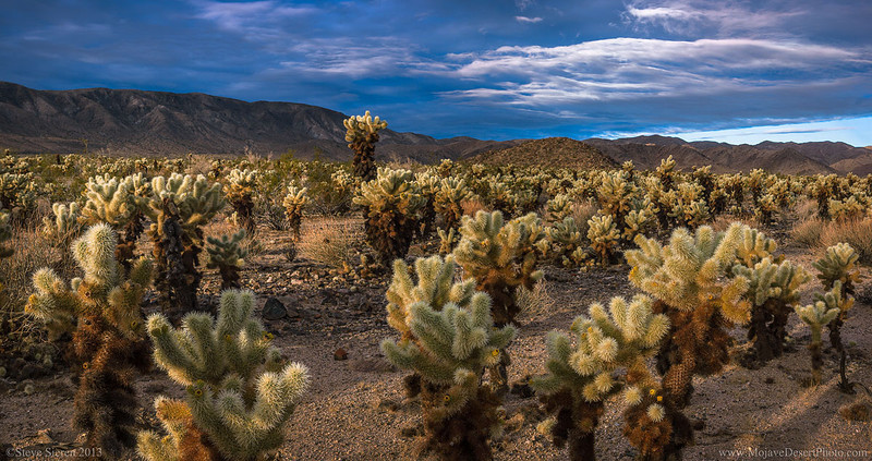 Sunlit cholla cactus garden panoram at sunrise in Joshua Tree National Park.