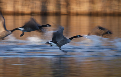 Canadian Geese Migration, Too Good Pond 2010