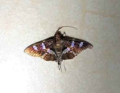 Moth, Grape Leaffolder, Desmia funeralis - Maybe