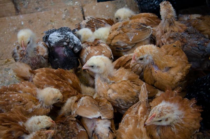 otavalo-animal-market_4882133585_o.jpg