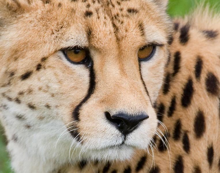 cheetahotc.jpg