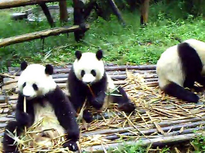 Bunch of Pandas eating-the video