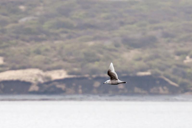 Glaucous Gull - juvenile - Borgarnes, Iceland