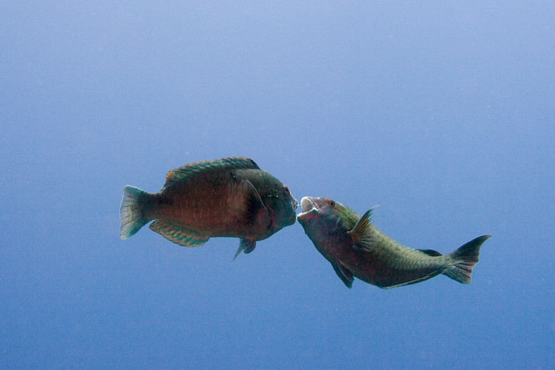 Parrotfish Battle 1.jpg