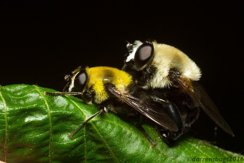 A pair of mating bumblebee-mimicking syrphid flies (Syrphidae: possibly Mallota sp.) from Roseville, Minnesota.