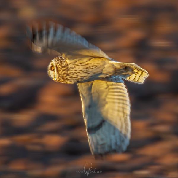 sm owl 6523.jpg
