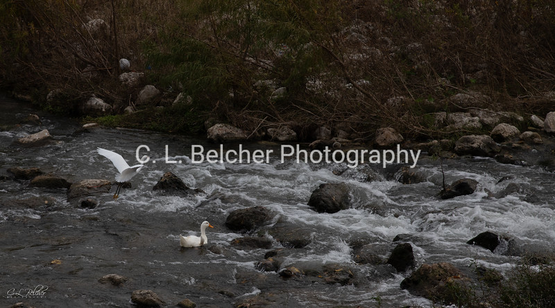 egret and duck