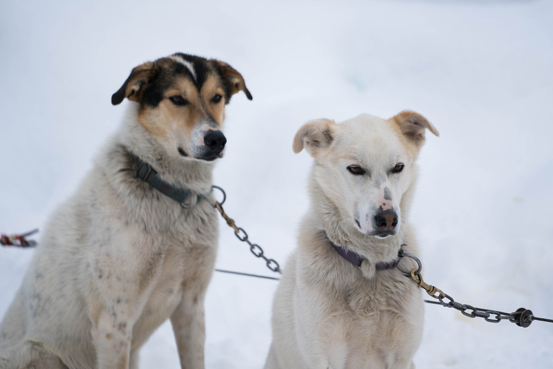 Dogsledding-banff-national-park-alberta-7.jpg