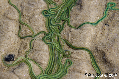 Green Paddle Worm