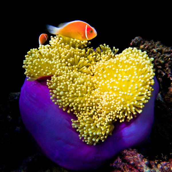 Skunk Clown Fish (Amphiprion perideraion)