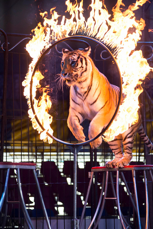 . In this June 22, 2014 photo a tiger jumps through a ring of fire during a performance of the Fuentes Gasca Brothers Circus in Mexico City. Besides frequent training sessions the tigers only leave their cages for daily performances. Mexico City and six of Mexico�s 32 states have now banned circus animals. Nationwide bans on circus animals have swept through Latin America recently, and Fuentes, along with other performers at his family�s circus, fear a Mexican federal law is sure to follow the capital�s law goes into effect. (AP Photo/Sean Havey)