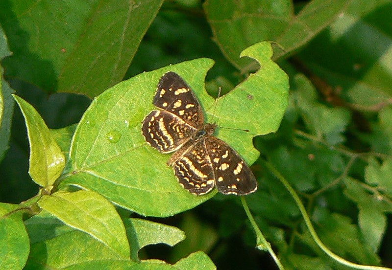 P104ATulcisPale-bandedCr323 Oct. 4, 2008  8:36 a.m.  P1040323 Anthanassa tulcis, Pale-banded Crescent, La Florida, Tamps.
