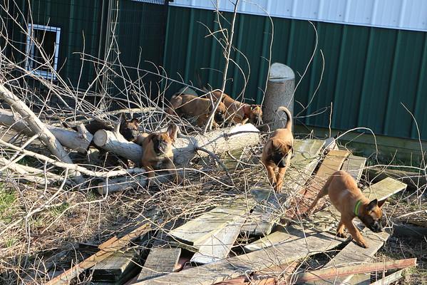 Puma puppies 7 weeks 3 days