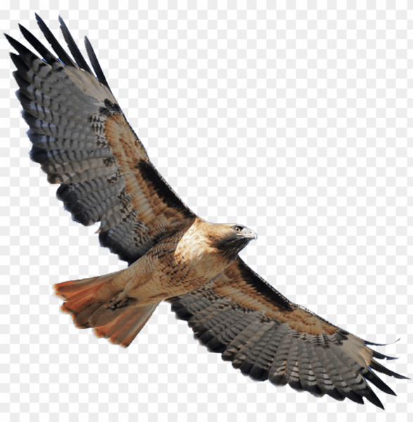 red-shouldered-hawk-png-banner-stock-red-tailed-hawk-transparent-11562953037oxxlljvtdd.png