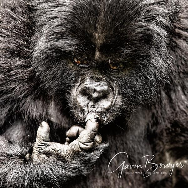gorillas web-3.jpg