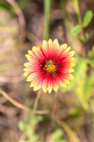 20190831-HobbsStatePark-WildflowerWithVisitor-1.jpg