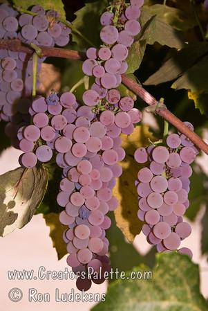 Canadice (Seedless) Grapes - Vitis vinifera cross