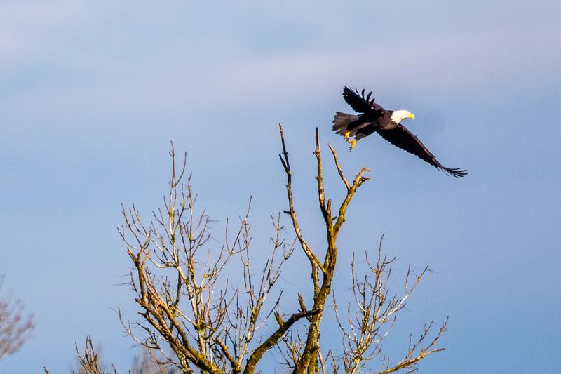 Bald Eagle Tree Dispute -0208.jpg