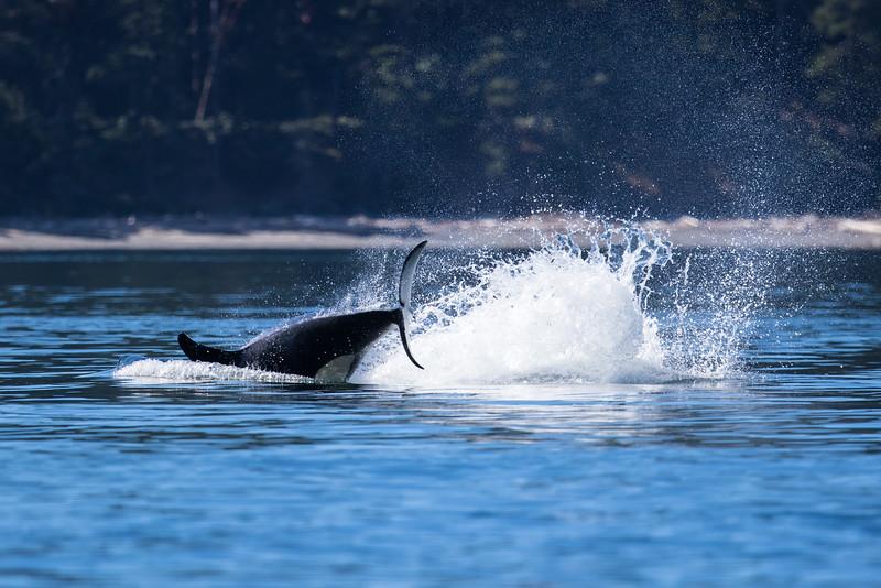 Orcas -  073115-219.jpg