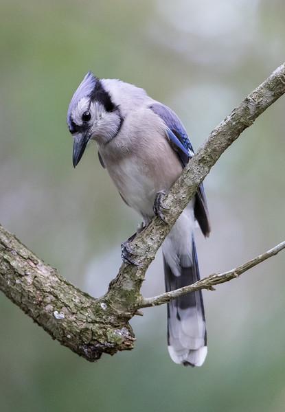 Blue Jay-5929.jpg