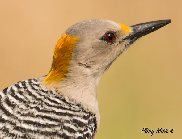 Golden-fronted Portrail_DWL6925.jpg