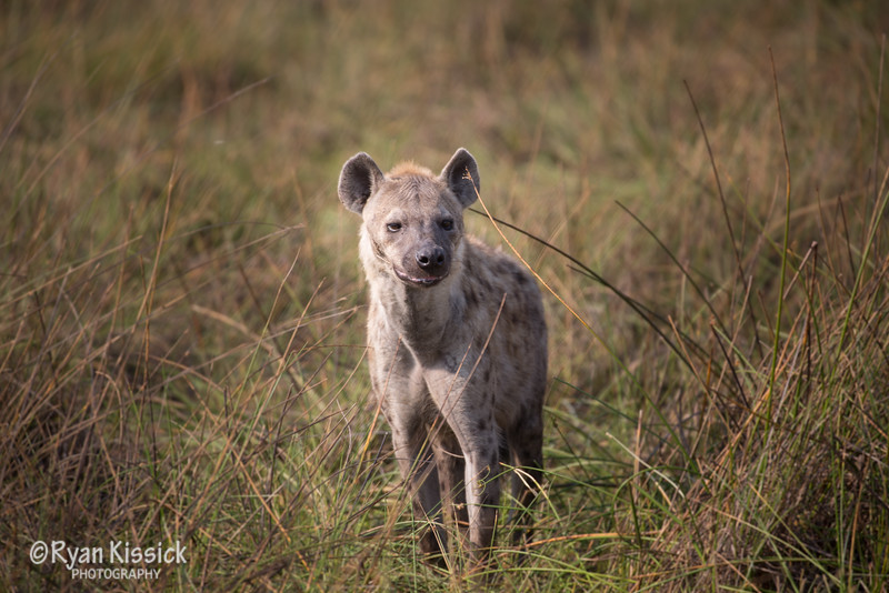 Hyena out on the prowl