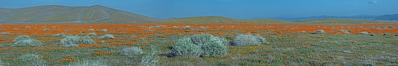 Antelope Valley Poppy  Reserve, CA - March, 2010