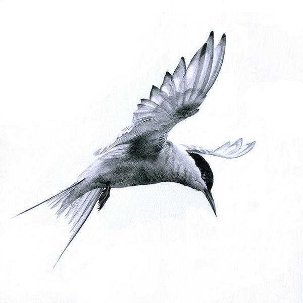 flight-arctic-tern-bev-lewis.jpg