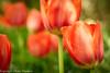 Tulpe 2-2