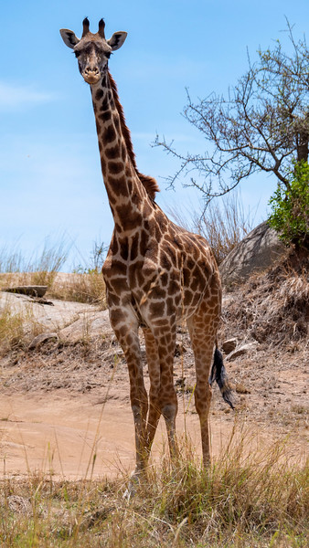 Tanzania-Serengeti-National-Park-Safari-Giraffe-01.jpg