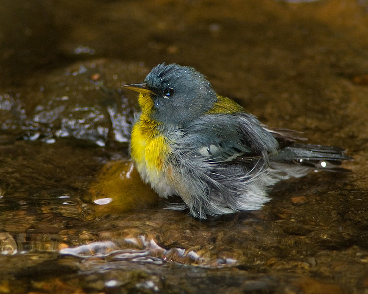 Northern Parula  Well deserved morning bath!