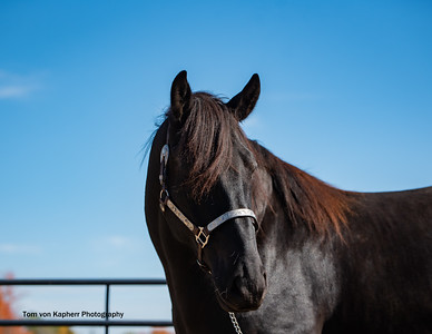 Zorro, Canadian horse