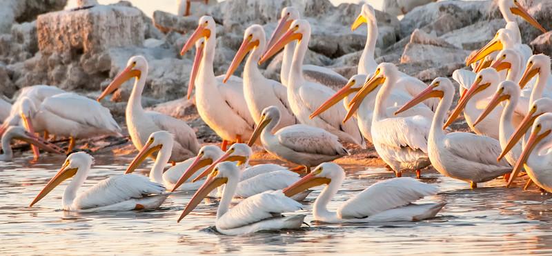 Pelicans-5.jpg