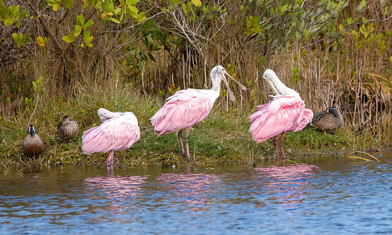 Roseate Spoonbills yacking it up!